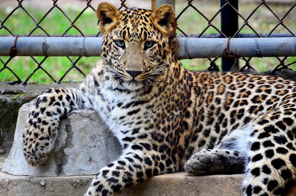 marketing campaign RFP image of a leopard in a cage